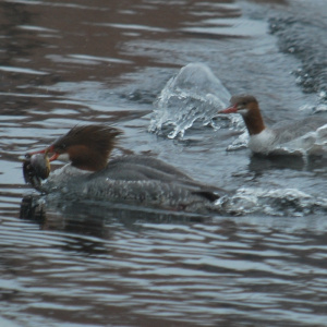 hooded merganser ducks in the ipswich fighting over a fish