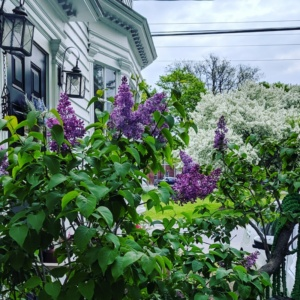 the lilacs and flowering trees are so beautiful every spring