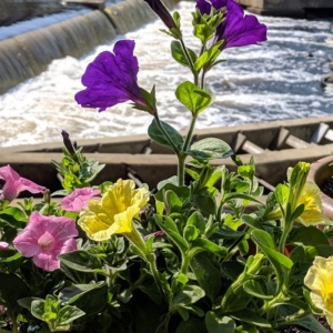 colorful petunias in our backyard garden