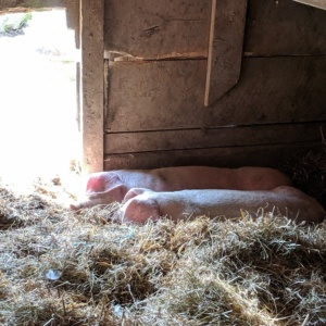 baby pigs at russell orchard ipswich