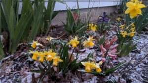 april first snow covering daffodils and other spring flowers