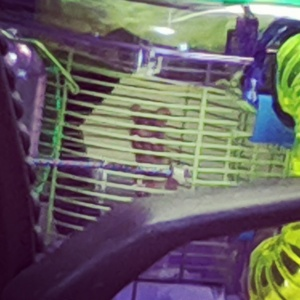 christyne's wild deer mouse trying to escape, she's since been released