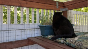 darwin eating grass in the freshly stained catio